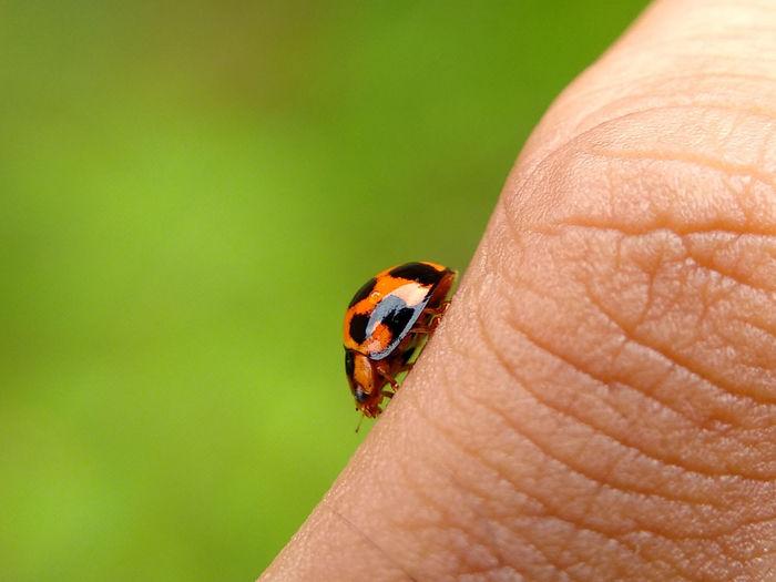 Walking Alone Insect One Animal Animal Themes Animals In The Wild Close-up Ladybug Nature Tiny Outdoors Animal Wildlife