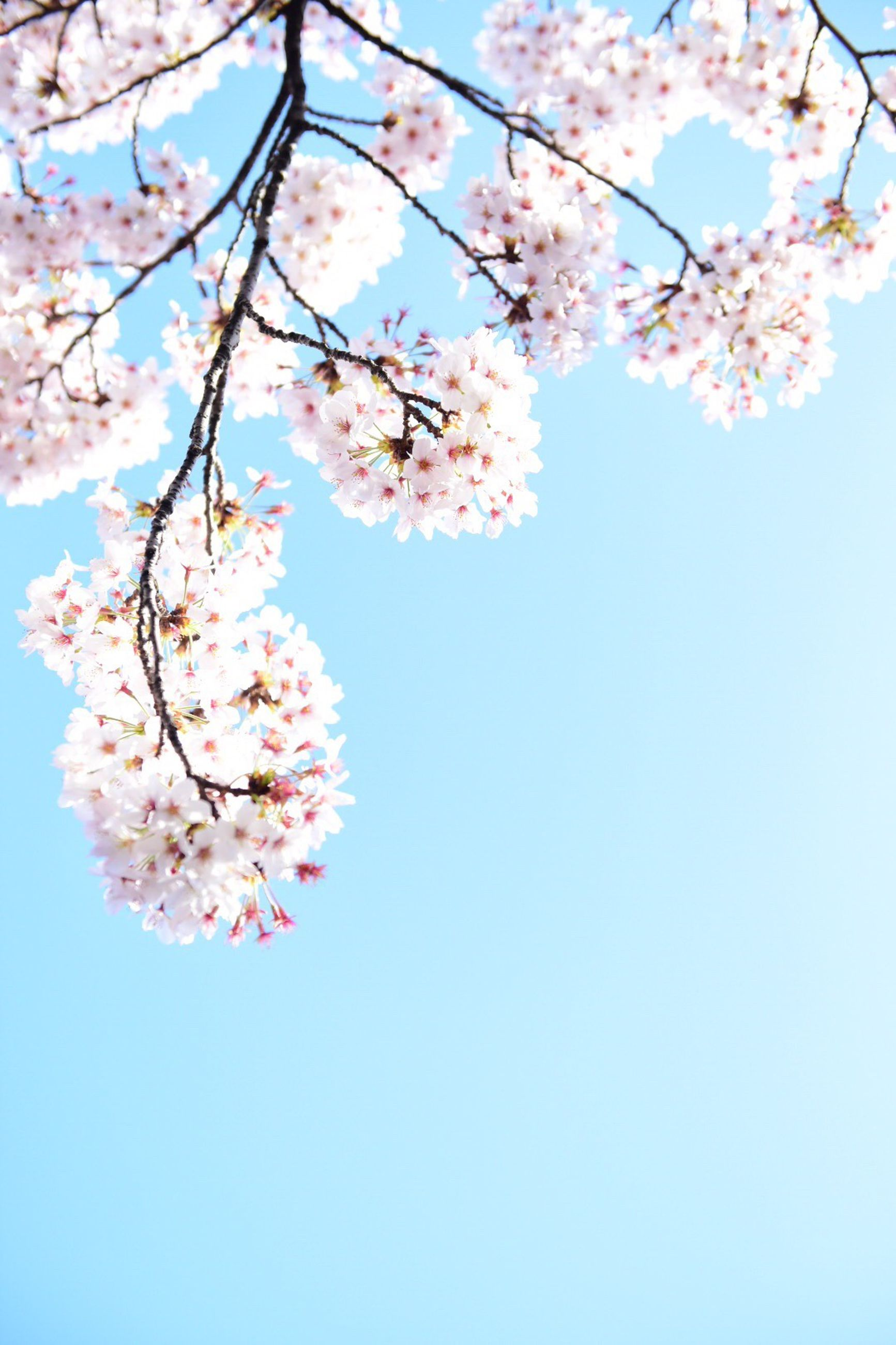 flower, freshness, tree, branch, cherry blossom, low angle view, growth, fragility, cherry tree, blossom, beauty in nature, clear sky, nature, pink color, blooming, in bloom, springtime, fruit tree, petal, day