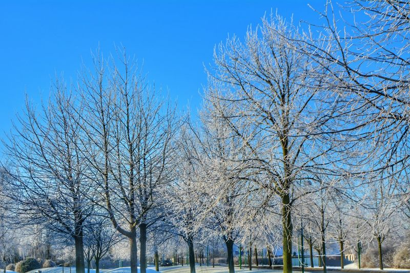 Bare trees against blue sky