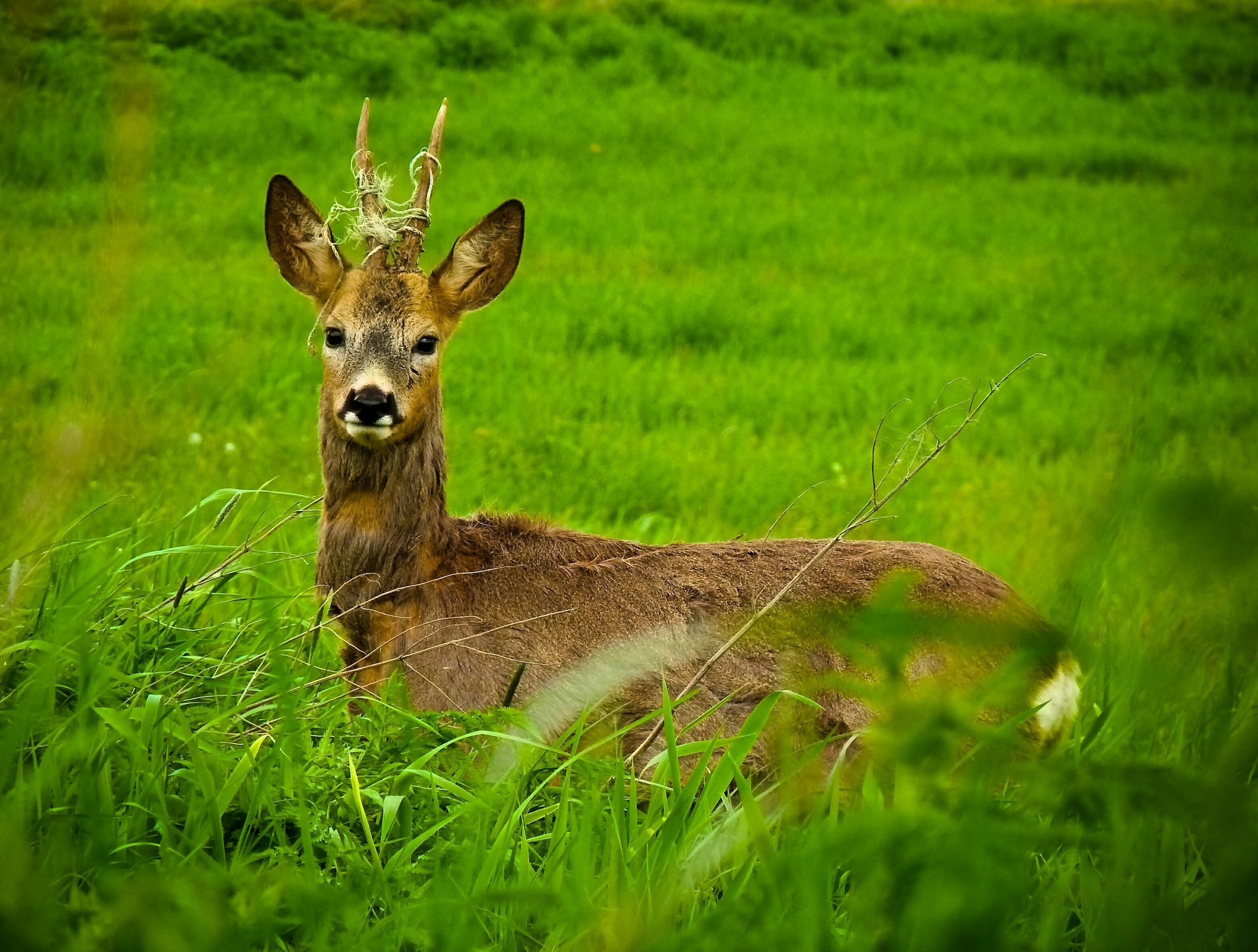 animal themes, grass, animals in the wild, one animal, wildlife, grassy, field, green color, mammal, nature, deer, focus on foreground, full length, day, landscape, outdoors, no people, growth, beauty in nature, side view