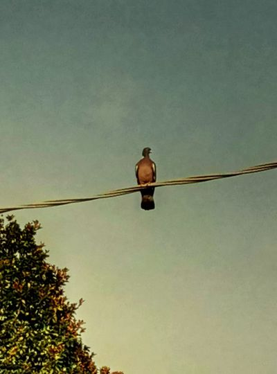 Nature Bird Animal Wildlife Animal Themes Pigeon Electrical Cable Tree Sky