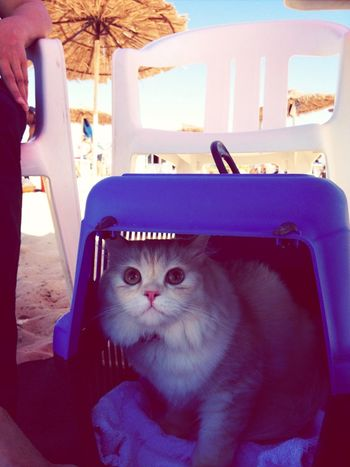 Chico enjoying summer Beach Summer Cats Hanging Out