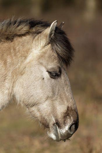 Konikhorse Horse En Profil Animal Themes Animal One Animal Mammal Animal Wildlife Close-up Focus On Foreground