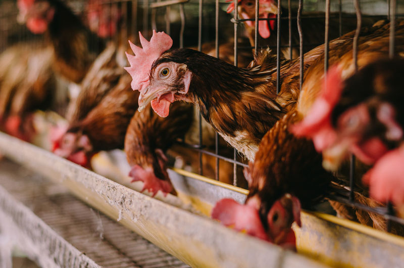 Livestock Animal Themes Animal Bird Chicken - Bird Domestic Animals Domestic Mammal Pets Vertebrate Chicken Selective Focus Group Of Animals Hen Agriculture Close-up Poultry Cage Farm No People