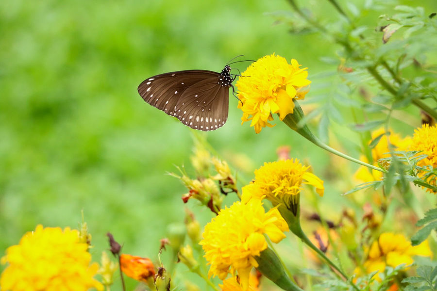Butterfly and flower Nature Animal Animal Wing Beauty In Nature Butterfly Butterfly And Flowers Flower One Animal Yellow First Eyeem Photo Animal Animal Wing Beauty In Nature Butterfly Butterfly And Flowers Flower One Animal Yellow First Eyeem Photo