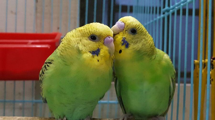 Budgies Love