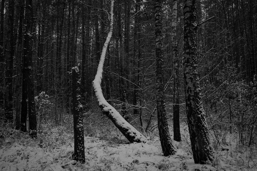 Snow Cold Temperature Nature Winter Tree Outdoors No People Close-up Beauty In Nature Day Snowing Belarus Forest Early Winter Monochrome Photography Black And White Photography By Ivan Maximov From My Point Of View Today's Weather Report Belarus Autumn Frozen Forestscape Landscape Photography Landscape Belarus Nature International Autumn