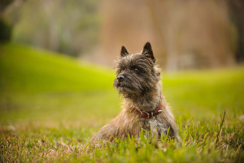 Cairn Terrier dog Animal Themes Cairn Cairn Terrier Day Dog Domestic Animals Mammal No People One Animal Outdoors Pets Photography Portrait Purebred Sitting Terrier