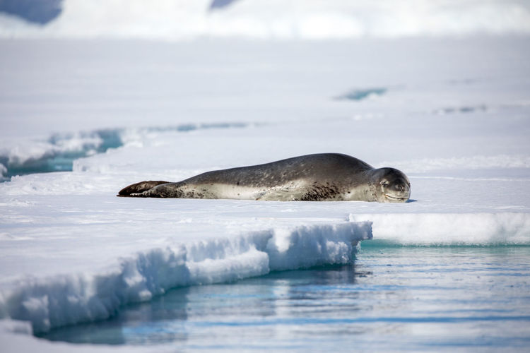 Animal Animal Themes Animal Wildlife Animals In The Wild Cold Temperature Day Environment Frozen Ice Mammal Marine Nature No People One Animal Outdoors Sea Seal - Animal Snow Underwater Water Winter