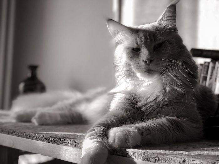 Momento serietà Crosta ❤️ Blckandwhite Cat Domestic Cat Pets Domestic Feline Domestic Animals Animal One Animal No People Indoors  EyeEmNewHere