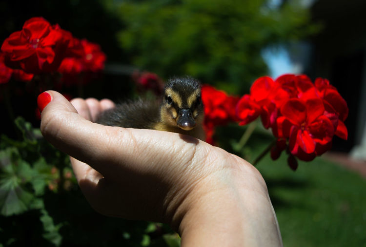 Cropped Image Of Woman Hand Holding Duckling Against Red Flowers