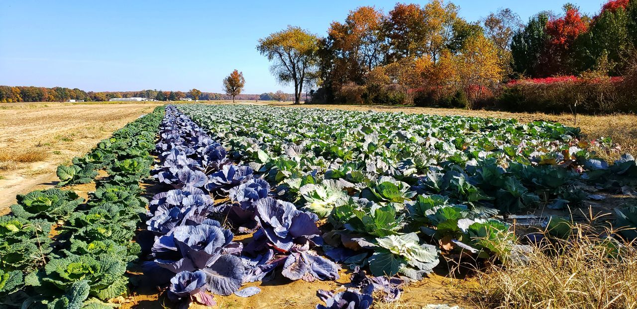 A beautiful autumn day Cabbage, Trees And Nature Tree Rural Scene Flower Agriculture Field Clear Sky Sunlight Sky Cultivated Land Farmland Plantation Farm Cultivated