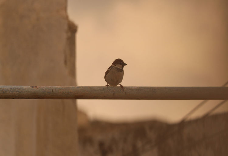 Bird Photography Crisafulli Animal Animal Themes Animal Wildlife Animals In The Wild Antonio Bird Birds Close-up Day Full Length Lone Bird Looking Nature No People One Animal Outdoors Perching Railing Selective Focus Small Sparrow Vertebrate Wall - Building Feature