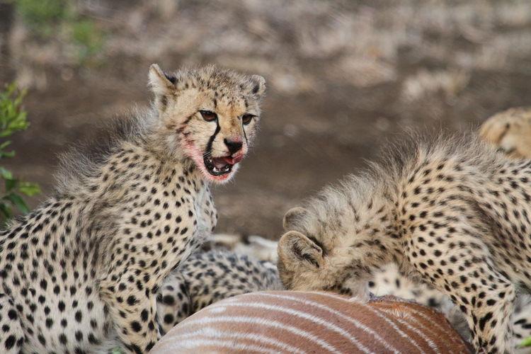 Cheetahs feeding on pray