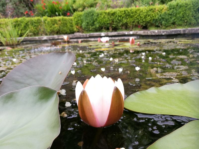 Portmeirion The Prisoner Lake Pond Lily Flower Beautiful Nature Nature_collection Nature Photography Wildlife & Nature Still Life Hedgerow Flowers, Nature And Beauty Flowers Of EyeEm Pink Flower 🌸 Pink And Green
