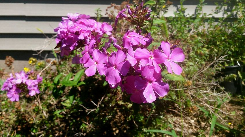 Flower Pink Color Purple Nature Fragility Plant Beauty In Nature Petal Day Freshness No People Outdoors Growth Flower Head Close-up Blooming Architecture