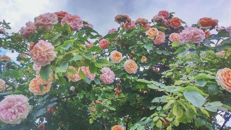 Когда-нибудь весь свой сад , я засажу розами.
