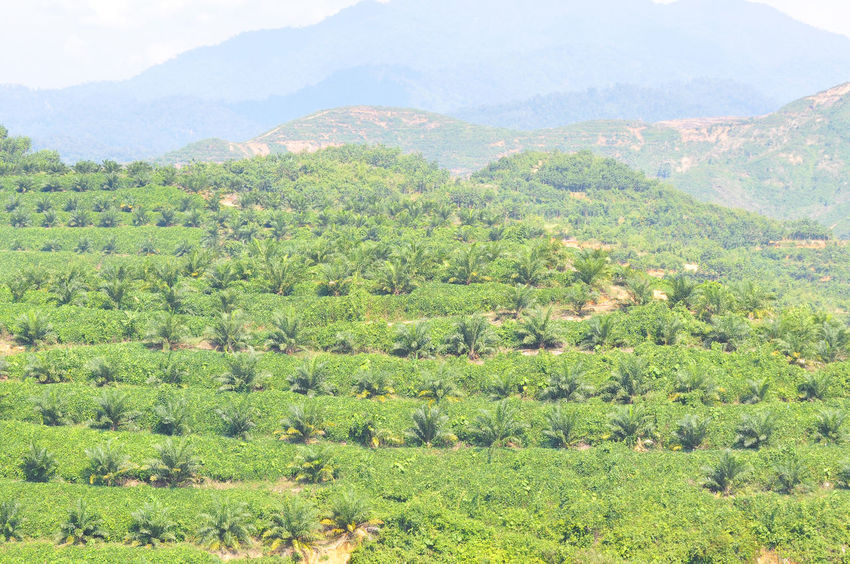 Newly Replant Oil Palm Plantation On The Hill With Foggy Sky Agriculture Commodity Corrosion Deforestation Environment Estate Field Forest Fruit Green Color Grow Growth Harvest Hill Leaf Logging Nature Oil Oil Palm Oil Palm Trees Outdoors Palm Plant Seed
