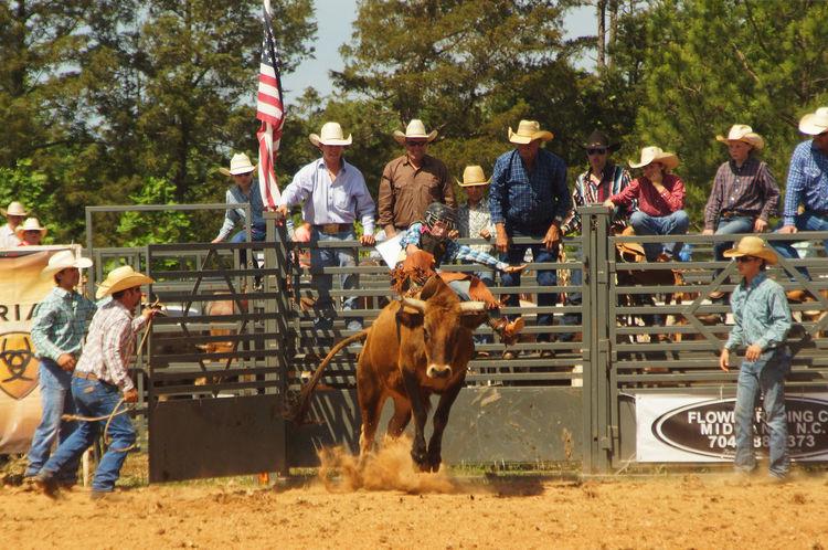 Bucking Cow Cowboy Livestock Rodeo