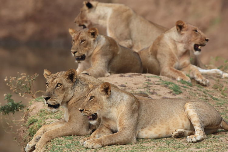 South Luangwa NP, Zambia Alertness Animal Family Animal Instincts Animal Themes Attentive Lions Feline Companions Lion Brothers Lion Family Lion Resting Lying Down Portrait Of Lions Predator Instinct Relaxation Resting South Luangwa Va Wildlife Young Animal Zambia Fine Art Photography