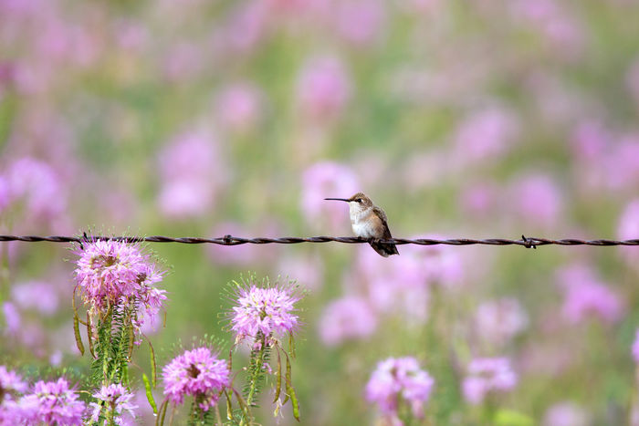 Hummingbird on barbed wire One Animal Animal Themes Nature No People Perching Flower Animal Wildlife Animals In The Wild Beauty In Nature Outdoors Day Fine Art Nature Hummingbird Barbed Wire Rocky Mountain Bee Flower Hummingbirds Flowers Hummingbirds Purple Purple Flowers Perching Bird Wildflowers
