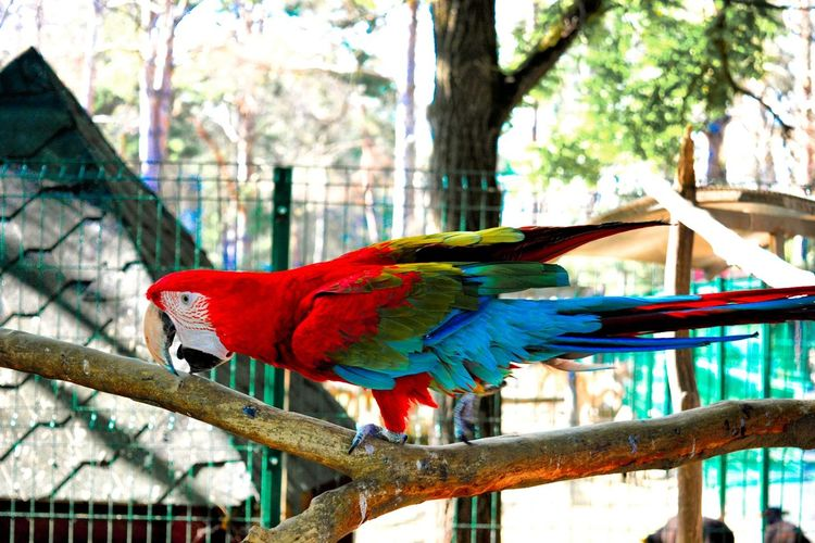 Red Bird Parrot Macaw Multi Colored Perching Beauty In Nature Scarlet Macaw Ara Macao Multi Coloured Multicolored