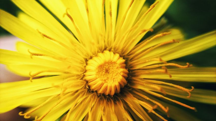 Mobilephotography Flower Head Flower Yellow Springtime Petal Stamen Pollen Concentric Blossom Full Frame