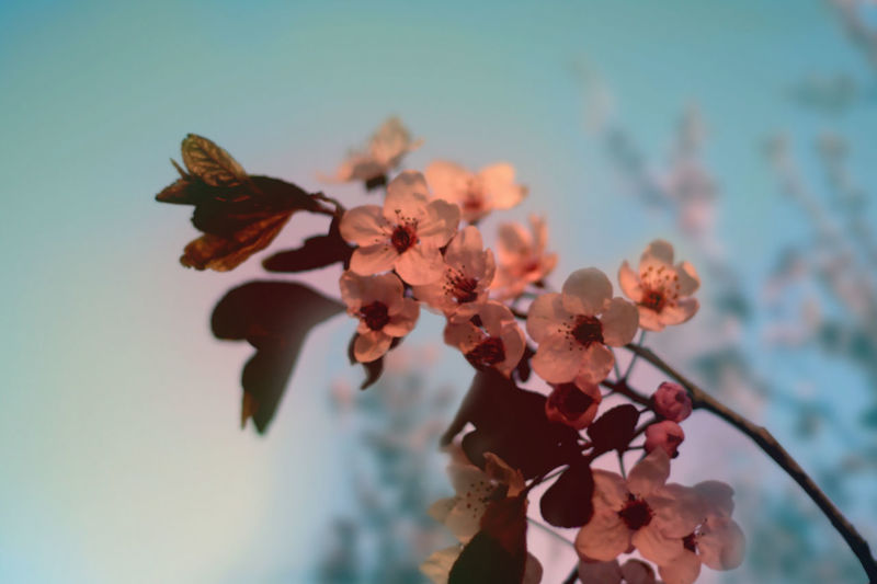Beauty In Nature Blooming Blossom Botany Cherry Blossoms Cherryblossom Depth Of Field Flower Flowers Freshness Growth Nature Nature Selective Focus Springtime Summer Summertime Tree