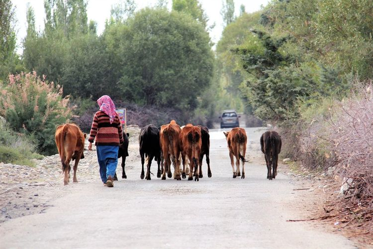 Rear view of woman with cows walking on road against trees