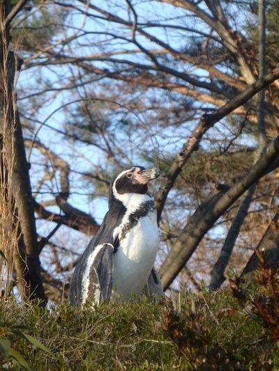 Penguin Zoo Walking Animal Bird No People One Animal Nature Outdoors