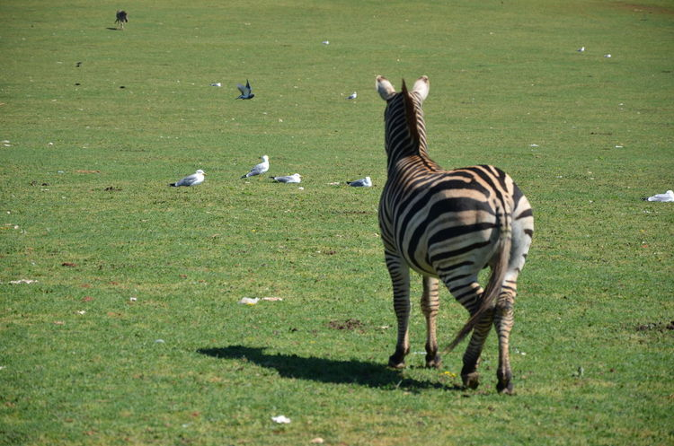 Animal Themes Animal Wildlife Animals In The Wild Beauty In Nature Day Field Grass Mammal Nature No People Outdoors Zebra