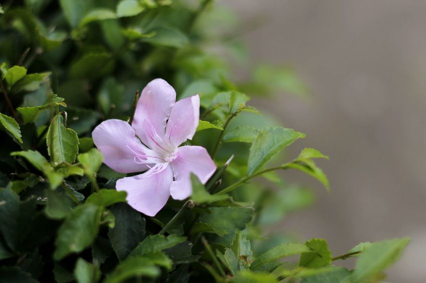 A shame of. Flower Freshness Petal Flower Head Growth Close-up Beauty In Nature Botany Purple Season  Plant Single Flower Nature Focus On Foreground Photography No People Jalan-jalan Outdoors Indonesian Street (Mobile) Photographie Minimal Bunga Indonesiaindah Flower Freshness Petal