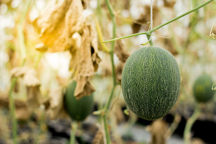 Vegetable Seeds & Plants in thailand Agriculture Beauty In Nature Cantaloupe Close-up Focus On Foreground Food Food And Drink Fruit Green Color Growth Healthy Eating Leaf Melon Nature Outdoors Plant Sphere