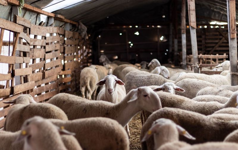 Sheep farm in Kosovo EyeEm Selects Mammal Animal Themes Group Of Animals Livestock Animal Pets Large Group Of Animals Domestic Animals No People Nature Flock Of Sheep Agriculture Indoors  Farm Textile Domestic Architecture Sheep Vertebrate Herbivorous