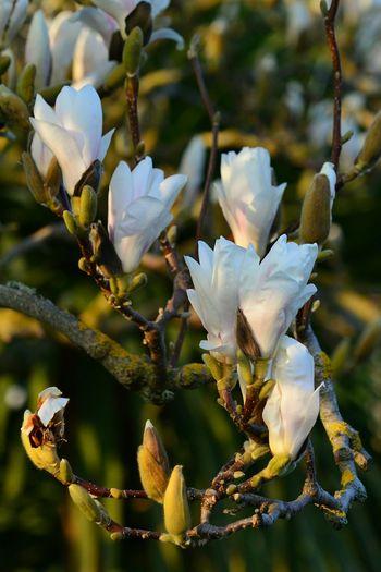 Magnolia TreePorn Flower Collection Flowerporn Flowerpower Spring EyeEm Nature Lover EyeEm Best Shots - Flowers EyeEm Best Shots - Nature Springtime