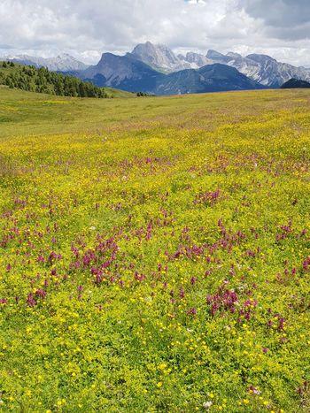 Alpine meadow - Rhinanthus angustifolius and Pedicularis verticillata Mountain Rural Scene Field Summer Flower