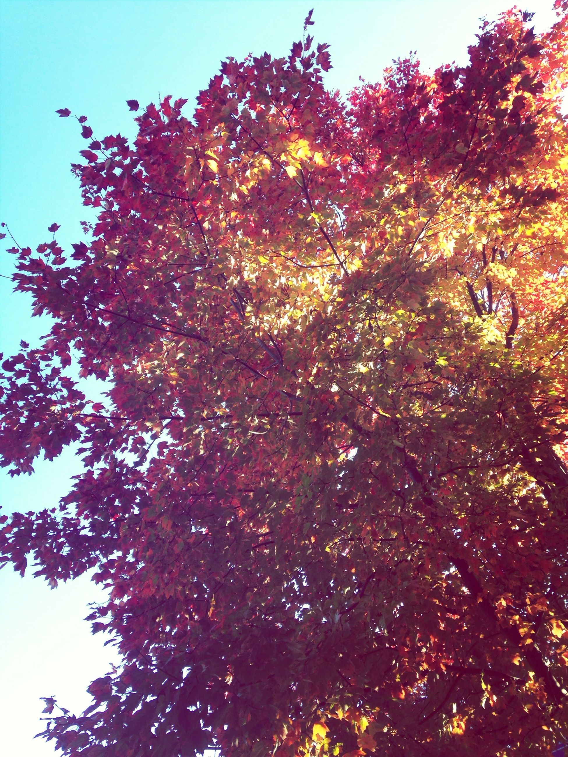 tree, low angle view, branch, growth, clear sky, autumn, nature, beauty in nature, tranquility, change, season, leaf, sunlight, scenics, outdoors, sky, no people, orange color, day, tranquil scene