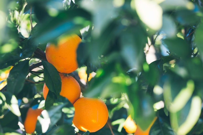 Orange Color Growth Leaf Plant Part Plant Fruit Healthy Eating Food Orange Tree Tree Citrus Fruit Food And Drink Orange - Fruit Orange Freshness No People Beauty In Nature Fruit Tree Nature Green Color Ripe