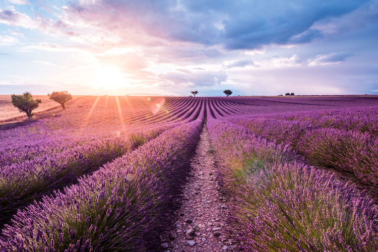Scenic View Of Lavender Field Against Sky During Sunrise