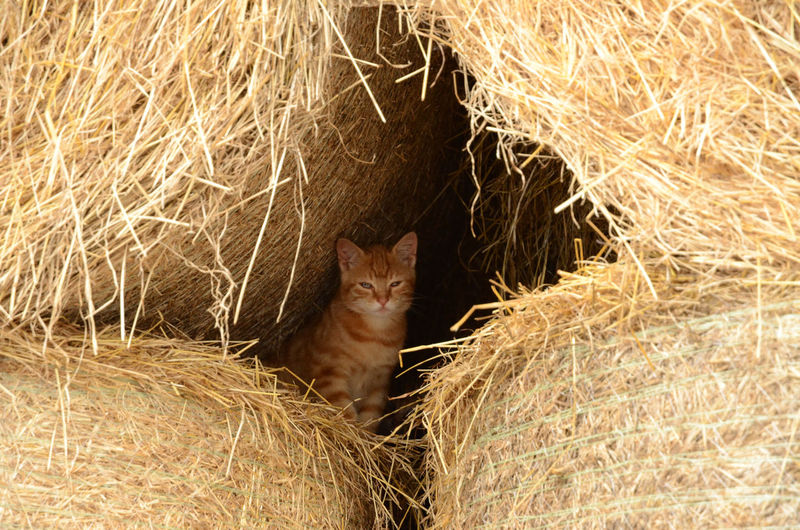 Mouser on duty Pet Portraits Animal Themes Domestic Animals Domestic Cat Hay Mammal Mouser One Animal Outdoors Pets Sentinel Straw Bales