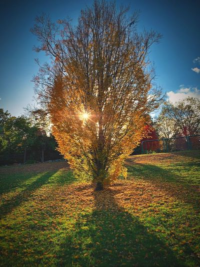 """El Dorado"" The setting sun spotlights a strike of rich gold, autumn leaves, at the foot of a suburban park tree. Golden Leaves Autumn Leaves Autumn colors Fall Beauty Fall Colors Fall Autumn Collection Autumn Sky Nature Tree Sunlight Beauty In Nature Grass Outdoors Scenics - Nature Park Sunset Yellow"