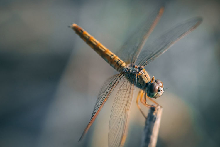 Close-up of dragonfly