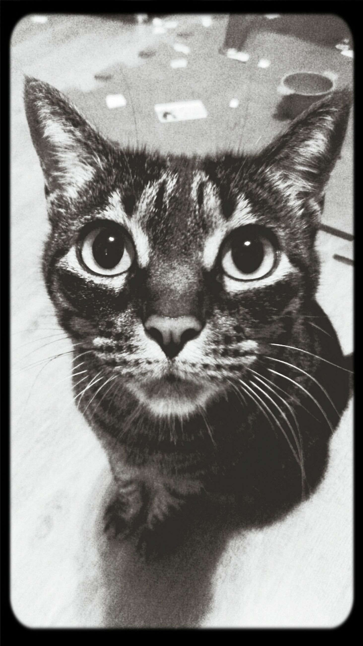 domestic cat, one animal, cat, animal themes, pets, feline, whisker, portrait, indoors, domestic animals, looking at camera, close-up, transfer print, animal head, animal eye, mammal, auto post production filter, staring, alertness, animal body part