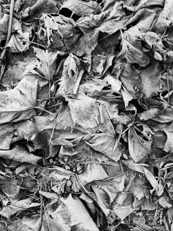 frozen leaves backdrop Frosty Wintertime Seasons Leaves Frozen Nature Leaf Autumn Backgrounds Dry Full Frame Change Crumpled Textured  No People Outdoors Day Nature Close-up
