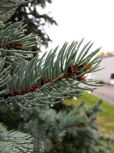 Freshness Water Beauty In Nature Nature Christmas Tree Tree Needle - Plant Part Pine Tree Focus On Foreground Close-up Christmas Winter Growth Pinaceae No People Beauty In Nature Christmas Decoration Outdoors Day Plant Branch Fir Tree Snow