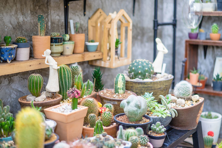 Potted Cacti For Sale At Market Stall