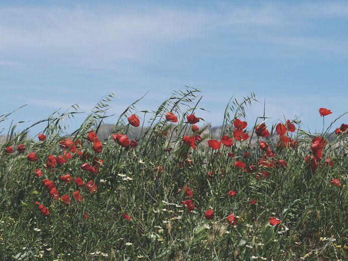 The Great Outdoors - 2017 EyeEm Awards Amapolas al viento Poppy Flower Nature Eyemphotography EyeEm EyeEmBestPics EyeEm Best Shots EyeEm Gallery EyeEm Best Edits EyeEm Best Shots - Nature Beauty In Nature Outdoors Nature