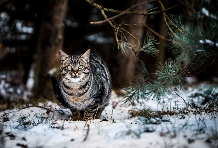 Portrait of cat on snow covered land
