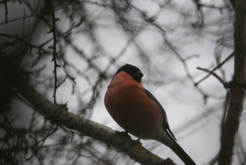 Gimpel Bird Tiere Natur Vogel Gimpel Dompfaff Vogel Vogel Mourning Dove