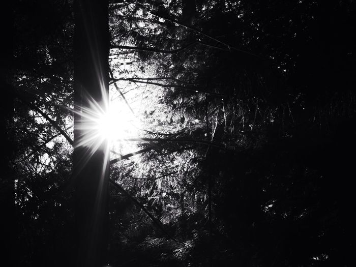 Galiano Island Tree Low Angle View Sun Growth Branch Forest Sunlight Tree Trunk Nature Lens Flare Sunbeam Beauty In Nature Tranquility Scenics Day Outdoors Tranquil Scene WoodLand Backlit Lush Foliage (null)Black And White Photography